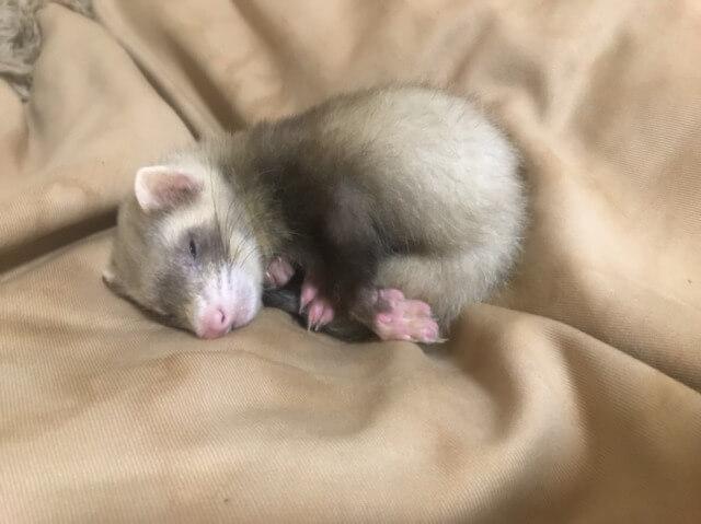 眠るフェレット