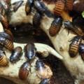 レオパの餌デュビアの特徴や保管、飼育方法について