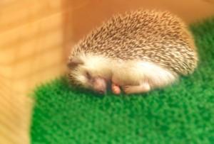 寝ているハリネズミ