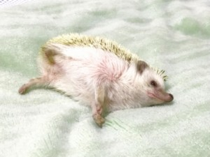 寝転がるハリネズミ